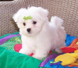 Adorable Maltese puppies now available.   These handsome babies have been family raised and have energetic and lovable personalities! They are AKC registered, up to date with their shots and dewormer, and have been vet checked as well. They will make loya